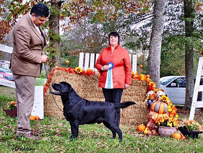 Zinfndel Lengley S Big Papi Labradors Boys Stud Dogs Ohio